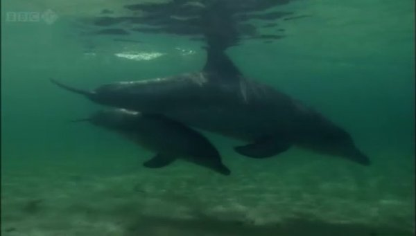 《bbc:自然世界 鲨鱼湾的海豚》(bbc:natural world the dolphins of