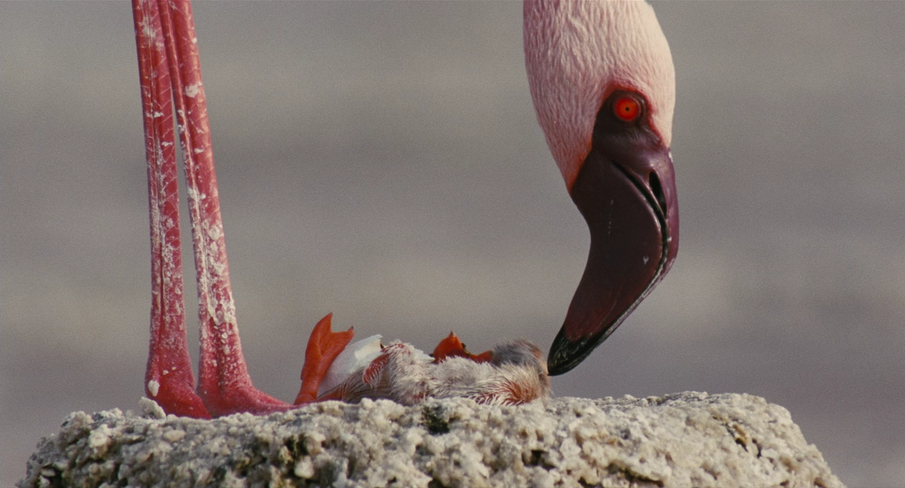 红鹤鸟的数目因近年受到环境污染与大量猎捕,几近灭亡边缘,迪斯尼