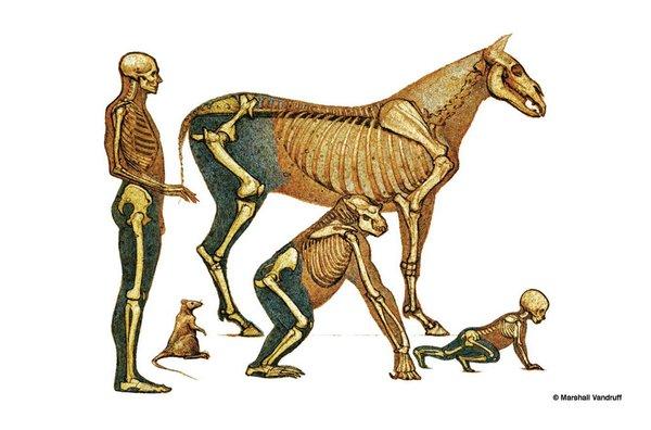 在动物生长过程中,肌肉,脂肪和骨骼的比例有什么变化   (1)肌肉生长